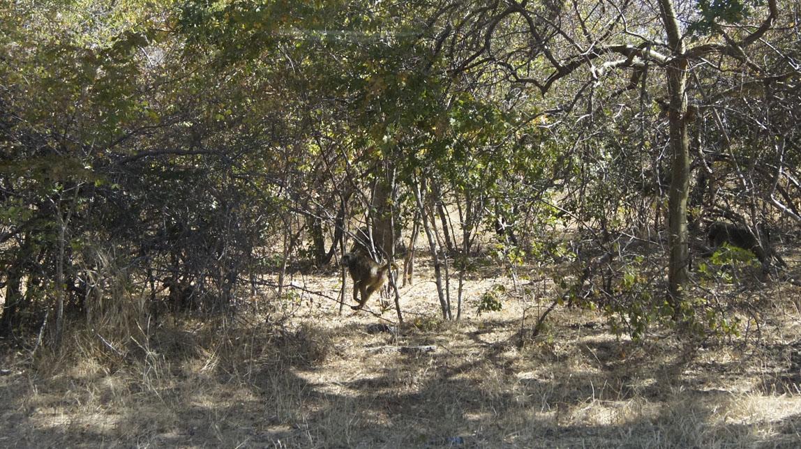 first baboon