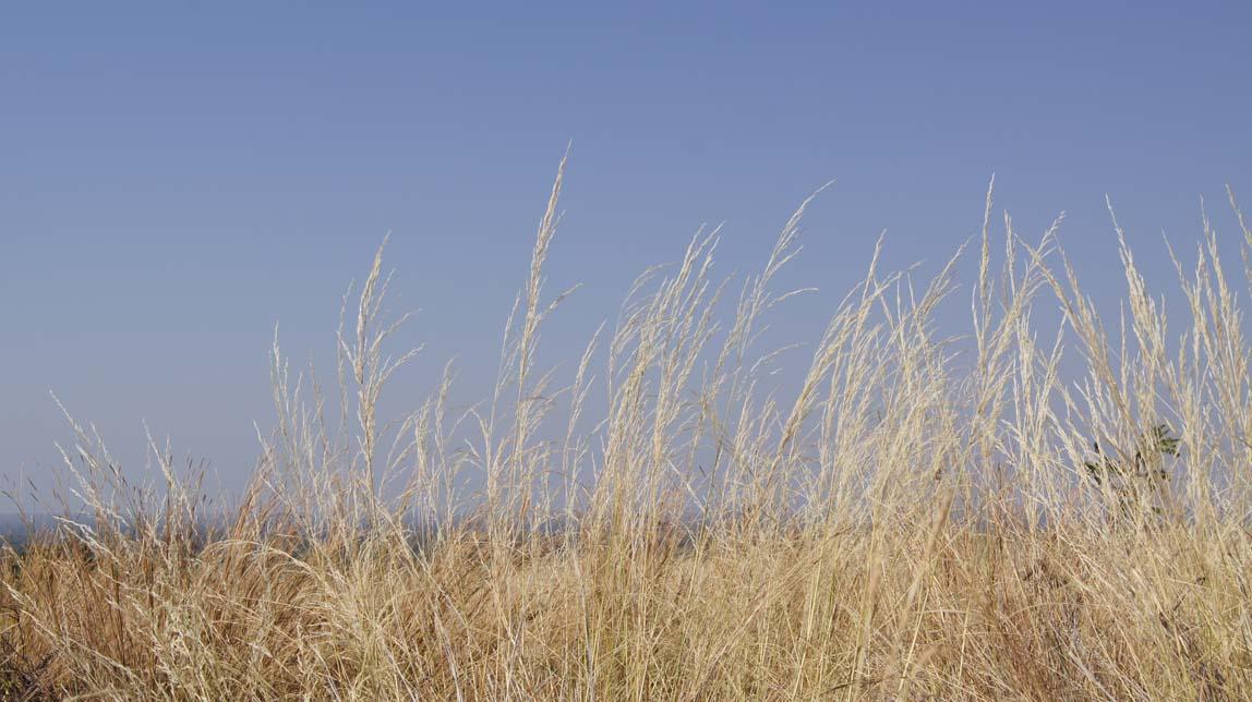 lion grasses
