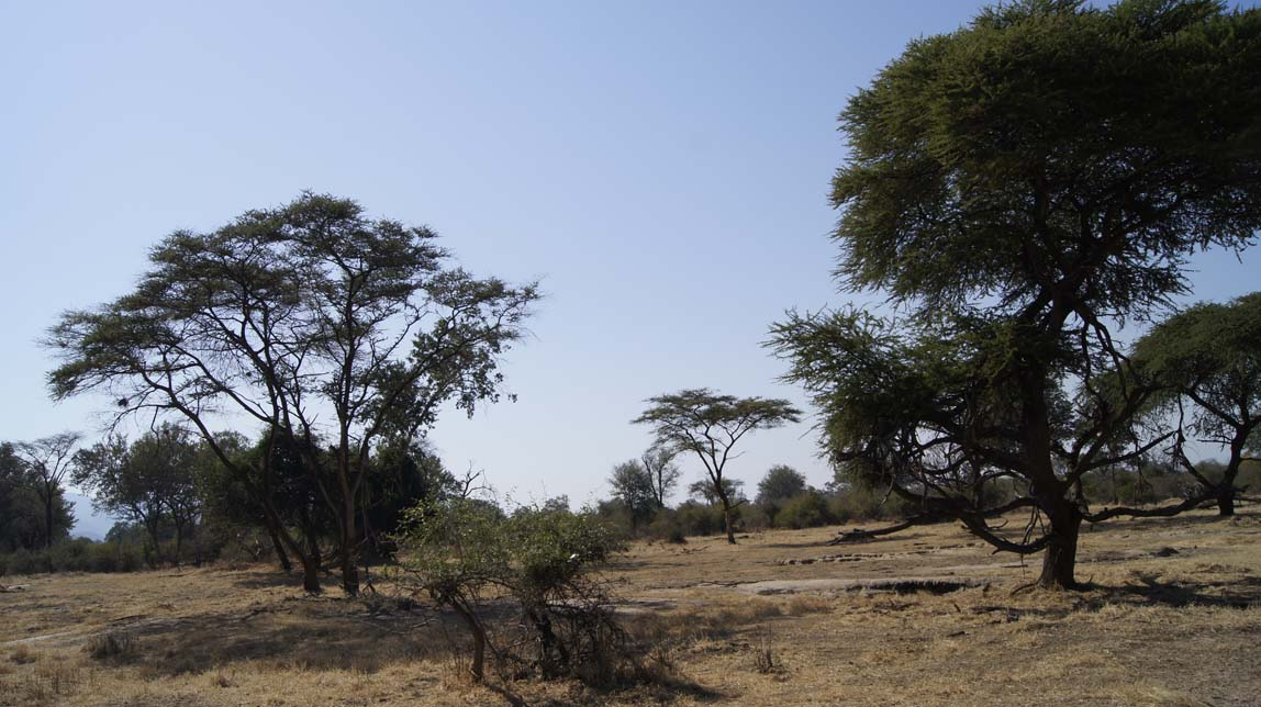 acacia trees