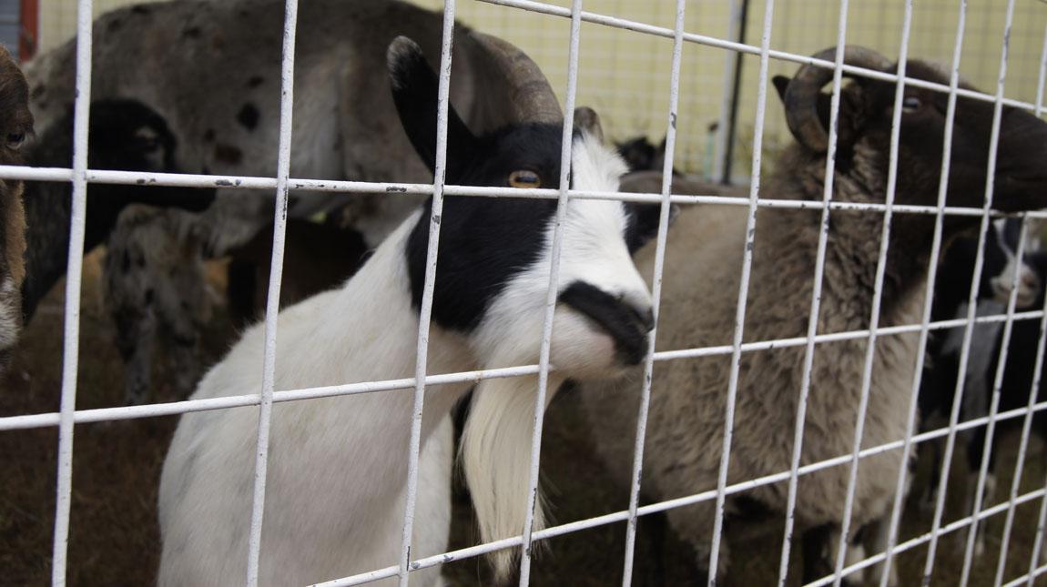 20151006-goats.jpg