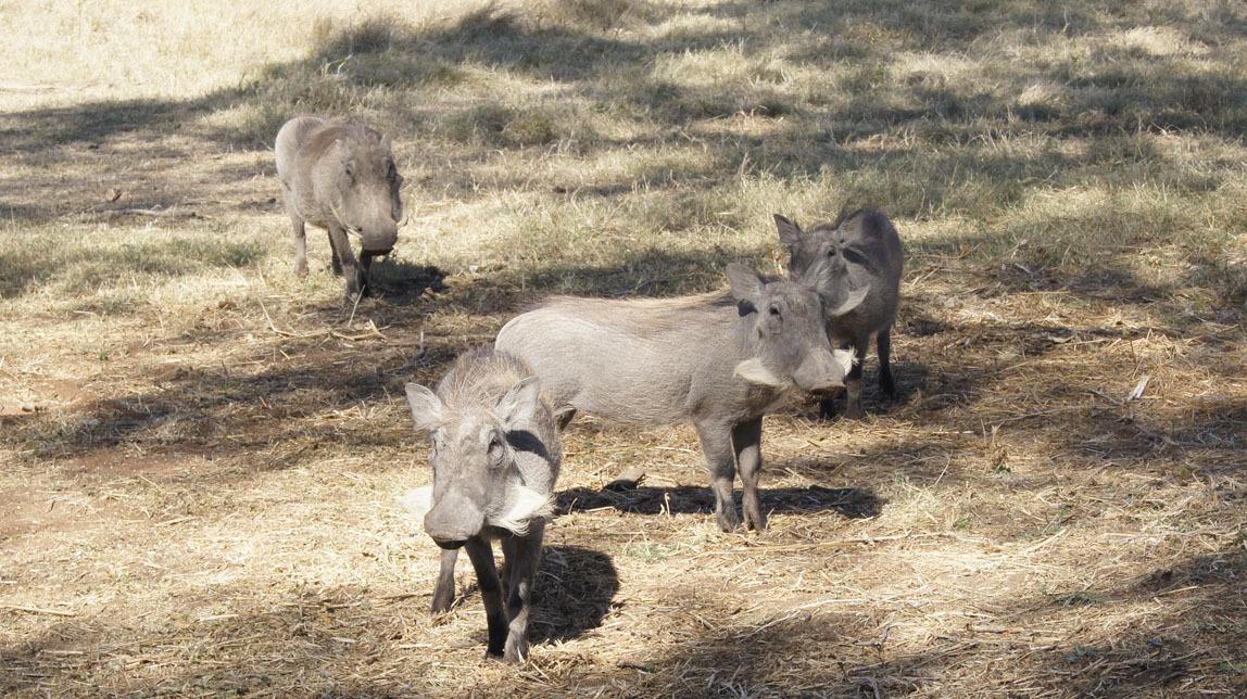 warthogs
