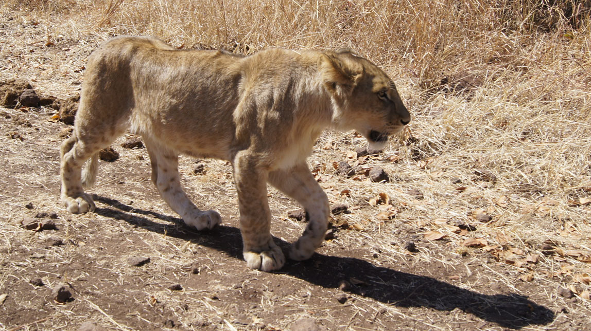 one of the lion cubs