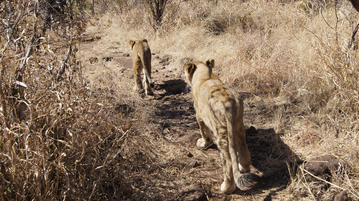 lion cubs leaving