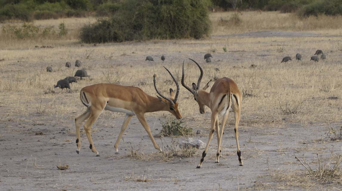 impalas sparring