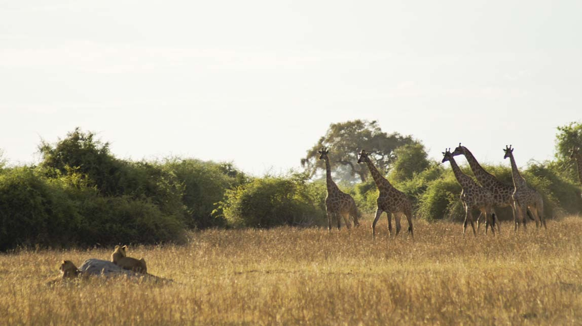 giraffes by lions