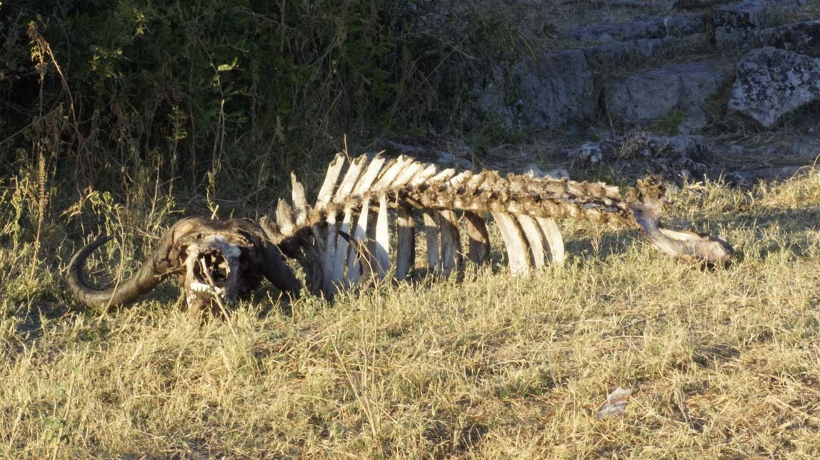 cape buffalo carcass