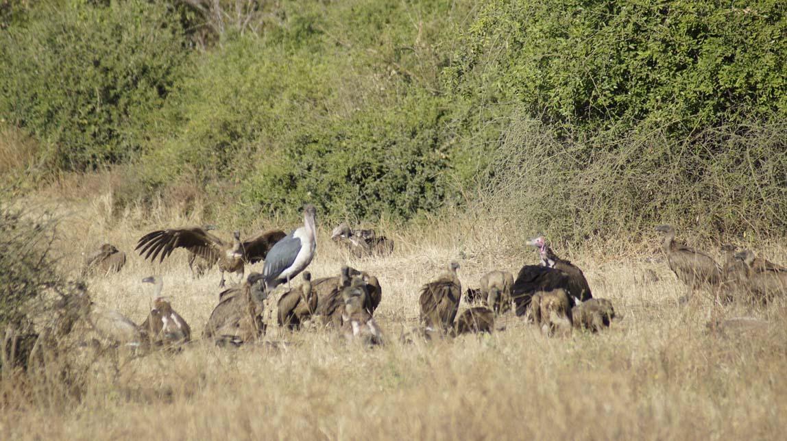 scavenger birds