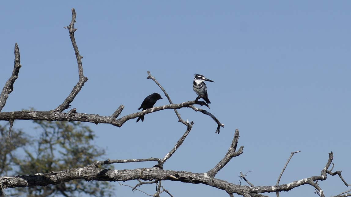 forktailed drongo and pied kingfisher