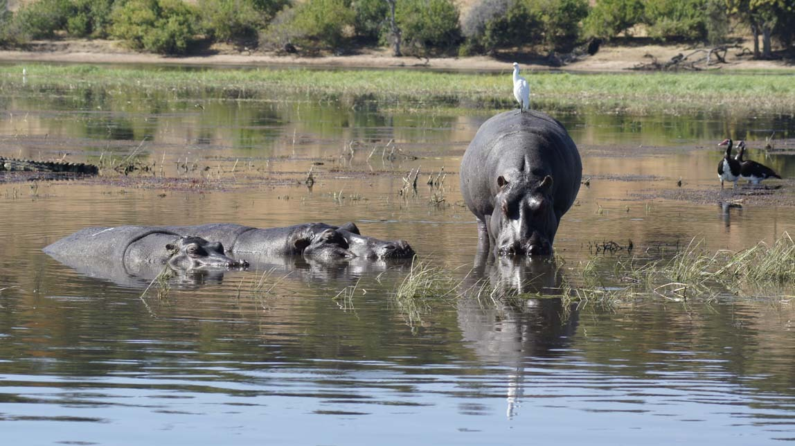 hippos and more