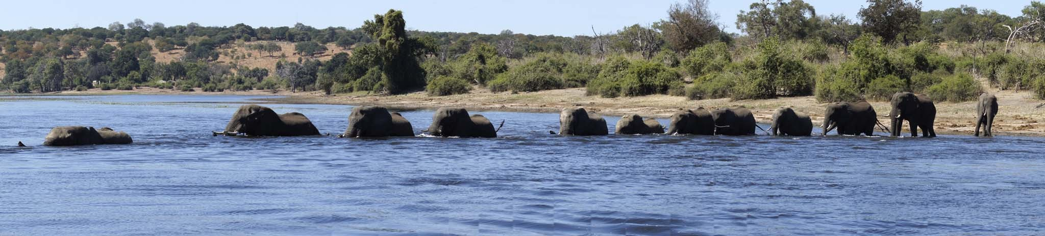 elephants in water panorama