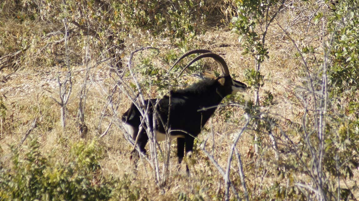 black sable antelope