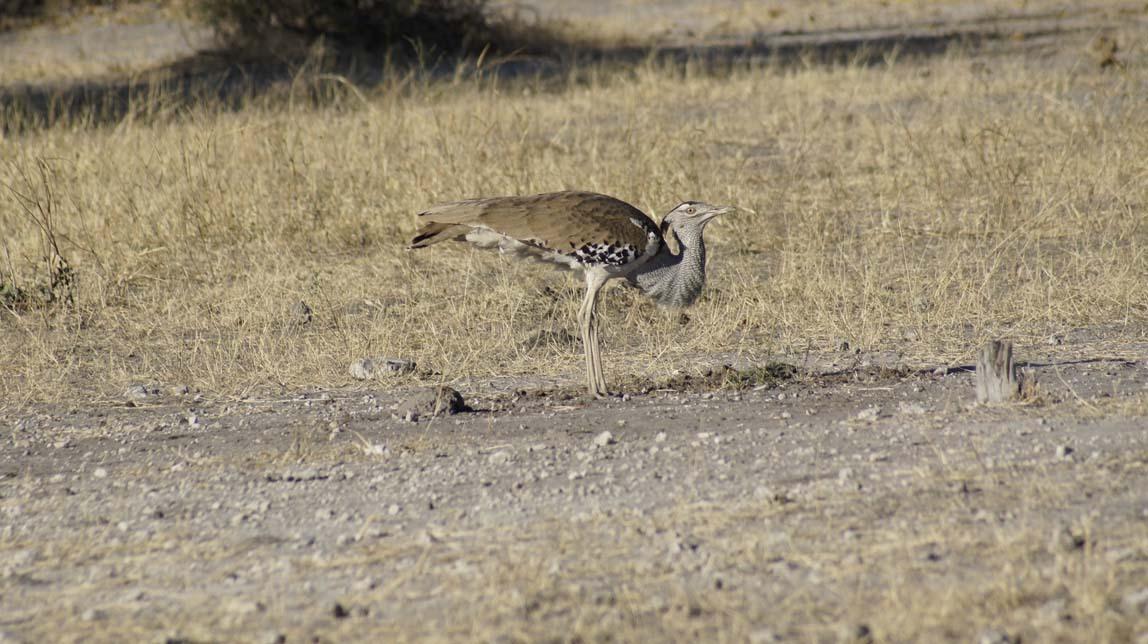 kori bustard bird