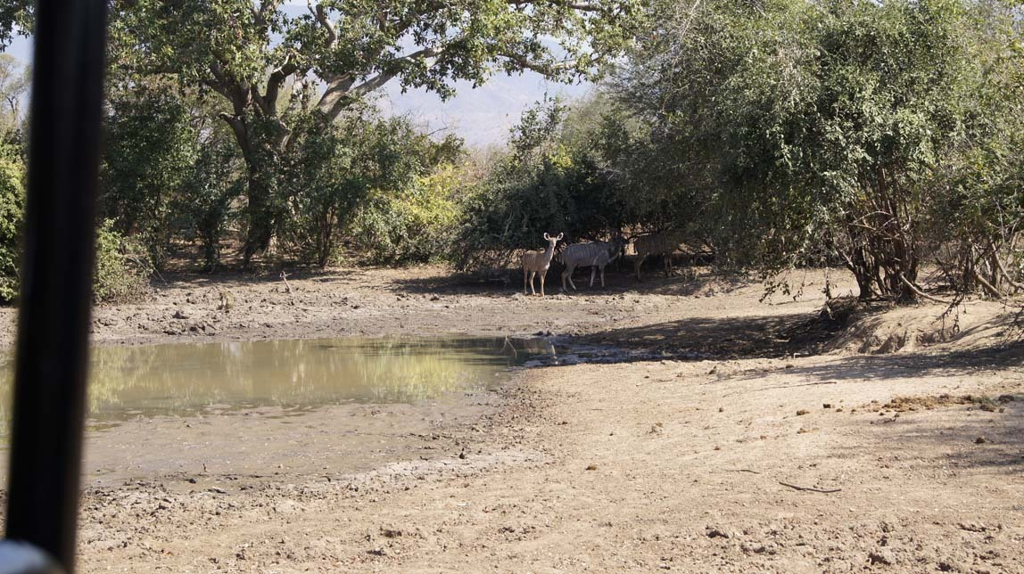 kudus near mud hole