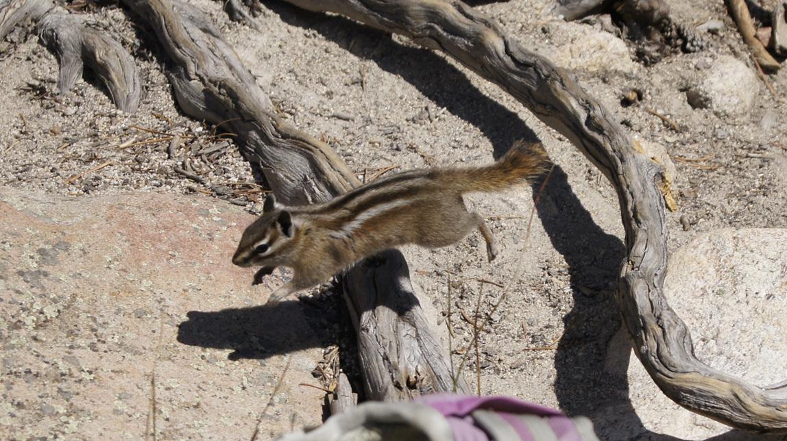 chipmunk in the air