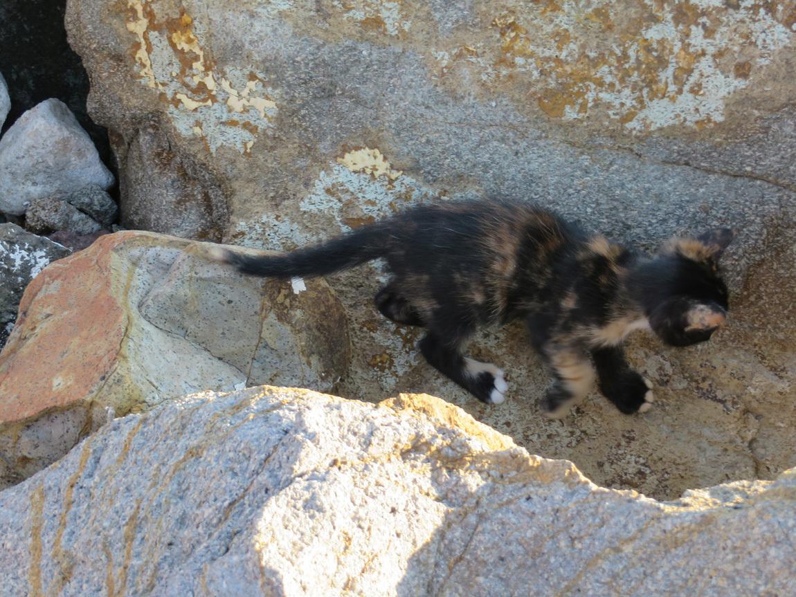 Assos kitten